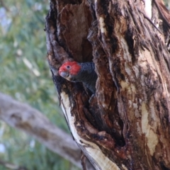 Callocephalon fimbriatum (Gang-gang Cockatoo) at Red Hill Nature Reserve - 14 Feb 2021 by LisaH