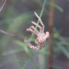 Sparassidae sp. (family) (A Huntsman Spider) at Red Hill Nature Reserve - 14 Feb 2021 by LisaH