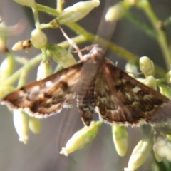 Nacoleia rhoeoalis (A Pyralid Moth) at Red Hill Nature Reserve - 14 Feb 2021 by LisaH