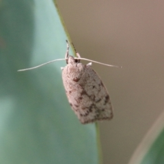 Heliocausta undescribed species (A concealer moth) at Red Hill Nature Reserve - 14 Feb 2021 by LisaH