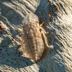 Ledromorpha planirostris (A leafhopper) at Mount Majura - 14 Feb 2021 by sbittinger
