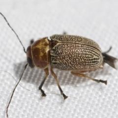 Aporocera (Aporocera) sculptilis (Leaf beetle) at Fyshwick, ACT - 10 Feb 2021 by AlisonMilton
