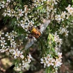 Rutilia (Chrysorutilia) sp. (genus & subgenus) (A Bristle Fly) at Aranda, ACT - 14 Feb 2021 by KMcCue