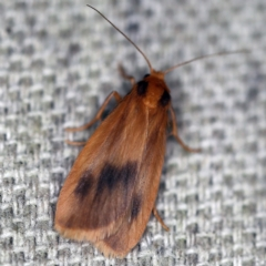 Threnosia heminephes (Halved Footman) at O'Connor, ACT - 30 Jan 2021 by ibaird