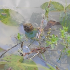 Unidentified Frog (TBC) at Lower Cotter Catchment - 6 Feb 2021 by Liam.m
