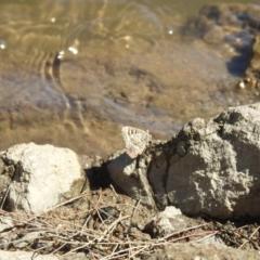 Ogyris amaryllis (Satin Azure) at Uriarra Recreation Reserve - 22 Jan 2021 by Liam.m