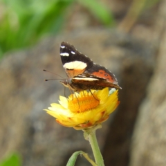 Vanessa itea (Yellow Admiral) at ANBG - 10 Feb 2021 by MatthewFrawley