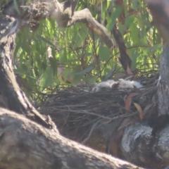 Accipiter fasciatus (Brown Goshawk) at Red Hill Nature Reserve - 21 Nov 2020 by roymcd