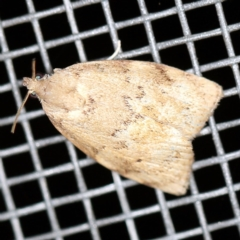 Imma acosma (An Immid moth) at O'Connor, ACT - 30 Jan 2021 by ibaird