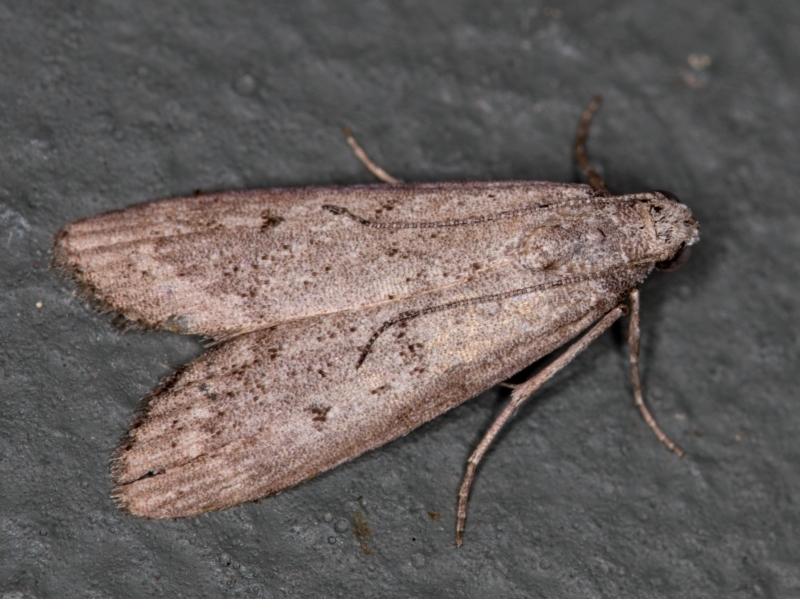 Heteromicta pachytera at Melba, ACT - 12 Feb 2021