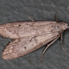 Heteromicta pachytera (Pyralid moth) at Melba, ACT - 12 Feb 2021 by Bron