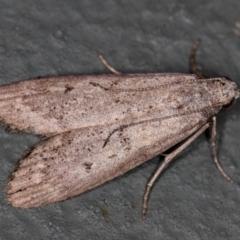 Heteromicta pachytera (Pyralid moth) at Melba, ACT - 12 Feb 2021 by Bron