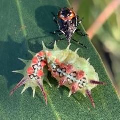 Doratifera quadriguttata and casta (Four-spotted Cup Moth) at Murrumbateman, NSW - 15 Feb 2021 by SimoneC