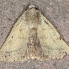 Pantydia (genus) (An Erebid moth) at Melba, ACT - 12 Feb 2021 by Bron