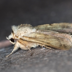 Pantydia (genus) at Melba, ACT - 12 Feb 2021