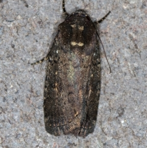 Proteuxoa provisional species 1 at Melba, ACT - 12 Feb 2021