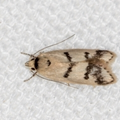 Compsotropha strophiella (A Concealer moth) at Melba, ACT - 12 Feb 2021 by Bron