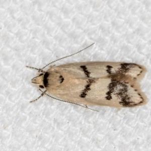 Compsotropha strophiella at Melba, ACT - 12 Feb 2021