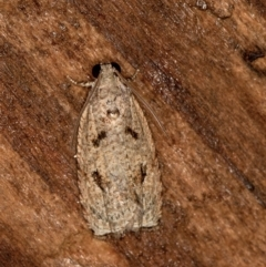 Olethreutinae sp. (subfamily) (A tortrix moth) at Melba, ACT - 11 Feb 2021 by Bron
