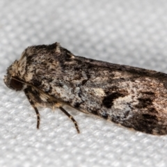 Thoracolopha verecunda (A Noctuid moth (group)) at Melba, ACT - 11 Feb 2021 by Bron