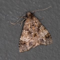 Arrade destituta (A Noctuid moth) at Melba, ACT - 11 Feb 2021 by Bron