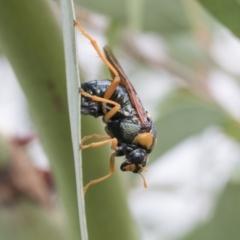 Perga sp. (genus) (Sawfly or Spitfire) at Fyshwick, ACT - 10 Feb 2021 by AlisonMilton