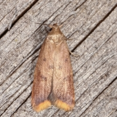 Tachystola acroxantha (A Concealer moth) at Melba, ACT - 14 Feb 2021 by kasiaaus