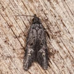 Bondia nigella (A Fruitworm moth (Family Carposinidae)) at Melba, ACT - 14 Feb 2021 by kasiaaus