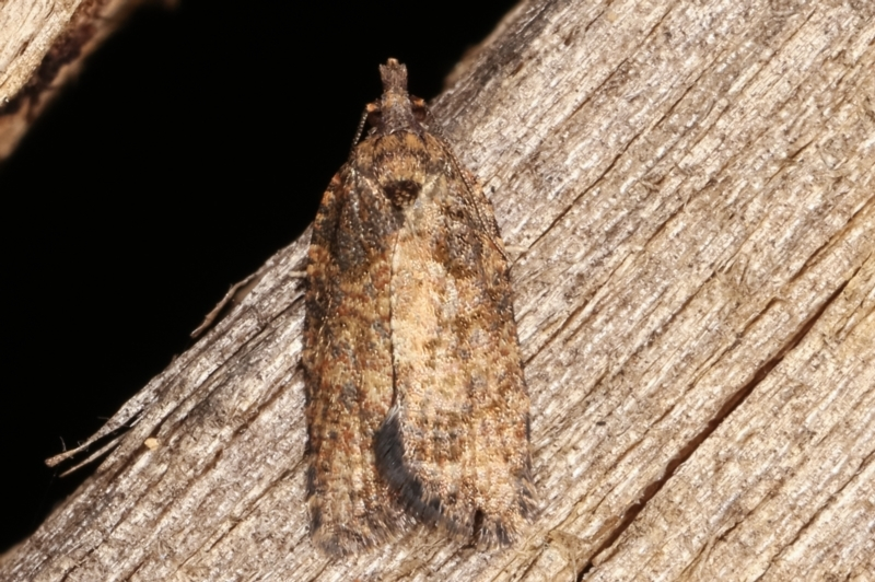 Tortricinae (subfamily) at Melba, ACT - 14 Feb 2021