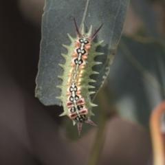 Doratifera quadriguttata and casta (Four-spotted Cup Moth) at Fyshwick, ACT - 10 Feb 2021 by AlisonMilton