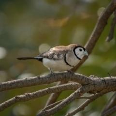 Taeniopygia bichenovii (Double-barred Finch) at Kaleen, ACT - 13 Feb 2021 by trevsci
