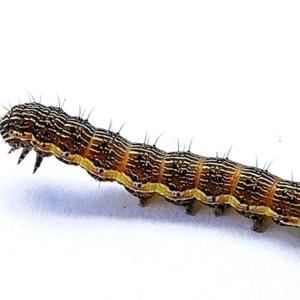 Noctuidae sp. unclassified IMMATURE moth at Crooked Corner, NSW - 13 Feb 2021