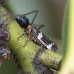 Eurymeloides punctata (Gumtree hopper) at Fyshwick, ACT - 9 Feb 2021 by AlisonMilton