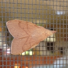 Pararguda nasuta (Wattle Snout Moth) at Crooked Corner, NSW - 2 Oct 2015 by Milly