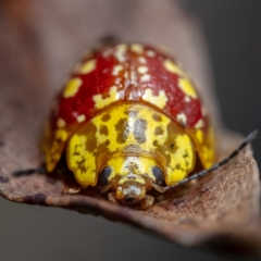 Paropsis maculata ((Spotted leaf beetle)) at Palerang, NSW - 14 Feb 2021 by Boagshoags