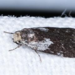 Phylomictis maligna at Melba, ACT - 14 Feb 2021
