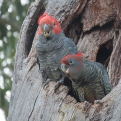 Callocephalon fimbriatum (Gang-gang Cockatoo) at Red Hill Nature Reserve - 15 Feb 2021 by roymcd