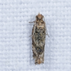 Olethreutinae sp. (subfamily) (A tortrix moth) at Melba, ACT - 14 Feb 2021 by kasiaaus