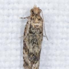 Olethreutinae (subfamily) at Melba, ACT - 14 Feb 2021