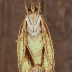 Syringoseca rhodoxantha (A concealer moth) at Melba, ACT - 14 Feb 2021 by kasiaaus