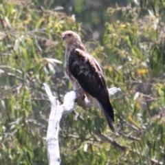 Haliastur sphenurus (Whistling Kite) at Albury - 13 Feb 2021 by PaulF