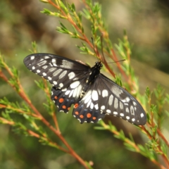 Papilio anactus (Dainty Swallowtail) at Downer, ACT - 10 Feb 2021 by MatthewFrawley