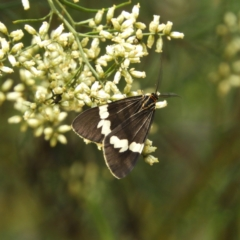 Nyctemera amicus (Senecio or Magpie moth) at Black Mountain - 10 Feb 2021 by MatthewFrawley