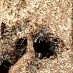 Rhytidoponera sp. (genus) (Rhytidoponera ant) at Gungaderra Grasslands - 15 Feb 2021 by tpreston