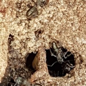 Rhytidoponera sp. (genus) at Gungaderra Grasslands - 16 Feb 2021