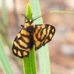 Asura lydia (Lydia Lichen Moth) at Gungaderra Grasslands - 15 Feb 2021 by tpreston