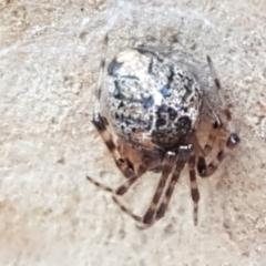 Cryptachaea veruculata (Diamondback comb-footed spider) at Kaleen, ACT - 15 Feb 2021 by tpreston