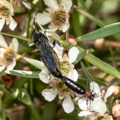 Rhagigaster ephippiger (Smooth flower wasp) at ANBG - 14 Feb 2021 by Roger