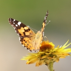Vanessa kershawi (Australian Painted Lady) at ANBG - 15 Feb 2021 by RodDeb