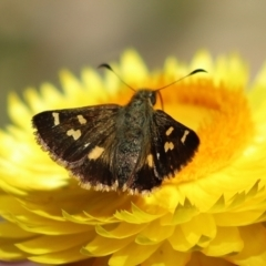 Dispar compacta (Barred skipper) at ANBG - 15 Feb 2021 by RodDeb